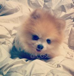 Must have!!!  baby puppy adorable teacup pom pomeranian !! Love him!