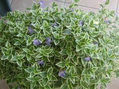 pianta da balcone sempreverde