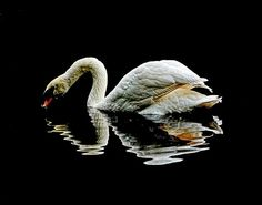Royal Swan ©Stuart Harrison