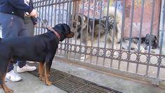Rottweiler vs Caucasian Shepherd and Sarplaninac #ViralDogMoments