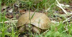 Tortue-de-Horsfield-Testudo-horsfieldii-Agrionemys-horsfieldii-Tortue-russe-Tortue-des-steppes-Russian-tortoise