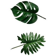 Split leaf philodendron clipart Image #5 ❤ liked on Polyvore featuring filler