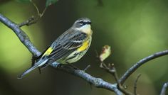 Yellow-rumped warblers are one of the most common and widespread species of warblers across the country. The Myrtle's population is in the eastern United States while the Audubon's population is found in the West. Veritable waves of these tiny boreal forest nesters head north in spring and back south in the fall. They are voracious flycatchers picking small insects out of the air. While their fall plumage is somewhat subdued compared to the spring breeding plumage, they still have a…