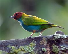 The Bay-headed Tanager (Tangara gyrola) is a medium-sized passerine bird. This tanager is a resident breeder in Costa Rica, Panama, South America south to Ecuador, Bolivia and southern Brazil, and on Trinidad.