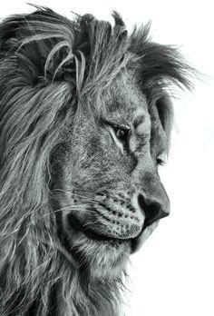 lion von mellemel Lion Images, Lion Pictures, Amazing Animals, Cute Animals, Beautiful Cats, Animals Beautiful, Beautiful Pictures, Lion Sketch, Lion Photography
