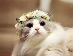 Give me a crown, I can become a queen cat #flowercrown