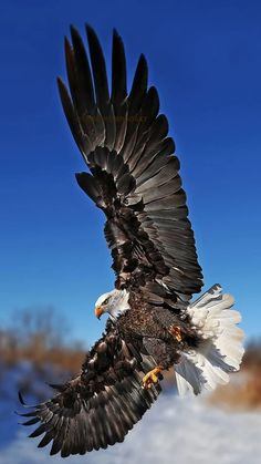 Birds of Prey - Bald Eagle making a beautiful landing.