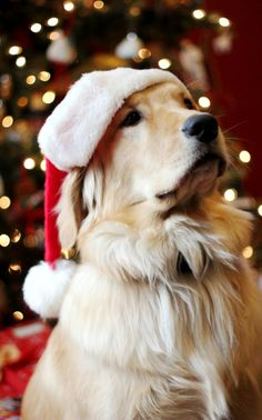 Golden Christmas Santa dog Sweet pup! Toni Kami Joyeux Noël Great Christmas photography liveinternet.ru