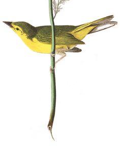 John James Audubon's Birds of America Audubon Prints, Audubon Birds, Bird People, Birds Of America, John James Audubon, Fauna, Bird Watching, Botanical Illustration, Bird Art