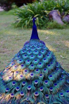 Tavuskuşu/peacock