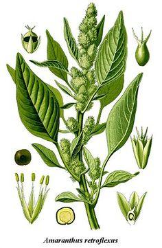 Plante annuelle de 20 à 90 cm de hauteur. Les tiges et rameaux sont poilus. La tige est souvent rougeâtre. Les pétioles se raccourcissent vers le sommet. Fleurs minuscules toujours vertes en épis denses et courts presque sans feuilles. Bractéoles rigides et pointues. Racine pivotante développée. Les fruits sont ovoïdes, plus longs que le calice persistant et renferment des petites graines noires et luisantes.
