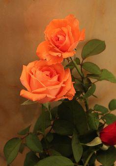 Pretty Apricot Roses