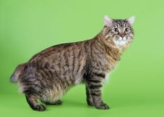 Learn about the American Bobtail cat breed. From Pets Best, a pet insurance agency for dogs and cats. Tortoise As Pets, Tortoise Food, Snowshoe, American Bobtail Cat, Norwegian Forest Cat, Find Pets, Cat Breeds, Pet Care, Animales