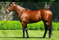 American Pharoah's new conformation picture! Photo credit: Coolmore America 5/31/17