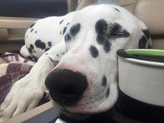 I haven't had my morning coffee yet. #jackson #dalmatianpuppy #dalmatian…
