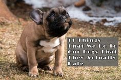 How dogs love us: French Bulldog Best Dog Breeds, Best Dogs, Perros Pit Bull, French Bulldog Facts, French Bulldogs, Goofy Face, Dog Smells, Best Dog Photos, Dog Pee