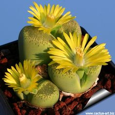 """Lithops fulviceps C345A cv. SPECLED GOLD (Syn: Lithops localis """"Speckled gold"""")"""