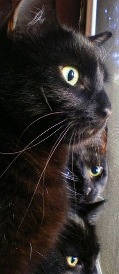 """Beautiful Black CATS (ᵔᴥᵔ) """"One cat just leads to another."""" - Ernest Hemingway........or three of four!"""
