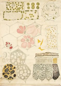 Botany drawings from 1929 by Frederik Elfvin
