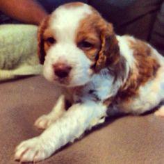 My baby Rowdy! :) little Brittany spaniel (4weeks)