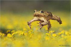 Cane toad by Rolf Nussbaumer