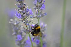 Hyönteinen, Kukka, Luonne, Mehiläinen, Rehun, Puutarha
