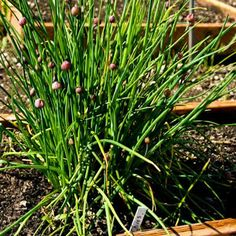 I love growing fresh herbs to use in the kitchen, and chives is one of my newest favorites.