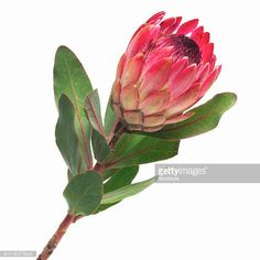 Protea, King stands for change and transformation. It signifies daring and resourcefulness. It is symbolic of diversity and courage. Protea Art, Protea Flower, Cactus Flower, Flower Art, Exotic Plants, Exotic Flowers, Large Flowers, Beautiful Flowers, Flowers Direct