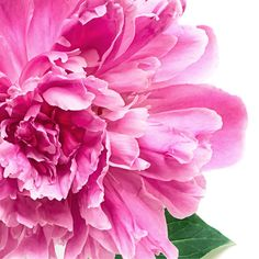 Pink Peony with Green Leaves fine art flower photography nature wall art home decor print Small Flower Arrangements, Small Flowers, Pink Flowers, Beautiful Flowers, Single Flowers, Flower Close Up, Peony Flower, Pink Peonies, Pictures To Paint