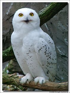 Snowy Owl - Other names for this owl are Artic Owl or the Great White Owl. - photo by Heinz Koloska