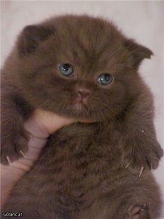 GolanCat - British Shorthair Cats