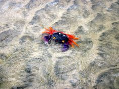 a colorful Costa Rican crab, that doesn't quite look real (but is)