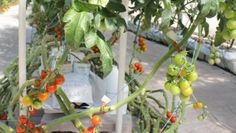 Accelerated greenhouse growth to help feed the world | Vegetables content from Western Farm Press