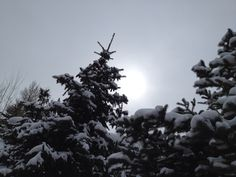 Snow covered pines in Snowmass