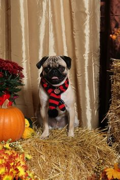Bugthepug. Fall photo shoot