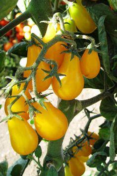 Tomato Garden Seeds - Yellow Plum - 1 Oz - Non-GMO, Heirloom, Vegetable Gardening Seed Yellow Vegetables, Growing Vegetables, Veggies, Heirloom Tomato Seeds, Heirloom Tomatoes, Fruit Plants, Fruit Trees, Tomato Garden, Vegetable Garden