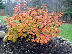 2-Fothergilla gardenii. Dwarf Fothergilla. 2'-3' high & wide. Zone 5. Fall color red & orange.