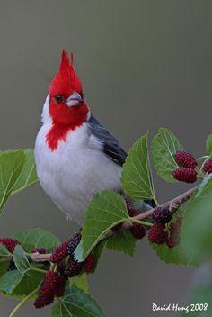 Cardenal rojo - Uruguay