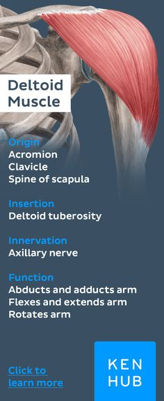 The deltoid #muscle is an all-star. The different aspects of it are involved in all shoulder movements. Re-pin to memorize one of the most versatile #muscles in the human body.