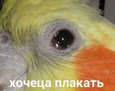 Healthy and lively cockatiel with eye issues Animal Memes, Funny Animals, Hello Memes, Happy Memes, Russian Memes, Best Memes Ever, Cute Memes, Cute Little Animals, Cartoon Memes