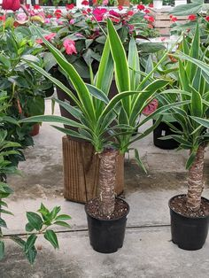 Learn all about how to care for a yucca plant, including tips for indoor and outdoor yucca care, as well as how to propagate this beautiful plant! Yucca Plant Indoor, Yucca Plant Care, Root Structure, Desert Environment, Pothos Plant, Snake Plant, Propagation, Houseplants, Roots