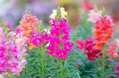 A colorful garden favorite! Blooming for months, Snapdragons are eye-catching bedding plants loved for their large, snout-shaped flowers atop their bright green foliage. Fragrant, the flowers come in a wide array of attractive shades