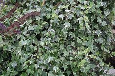 Hire Ivy Plants