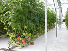 Mature Hydroponic Tomatoes - Bato-Bucket System