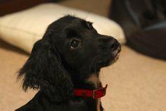Cocker Spaniel puppy - Molly