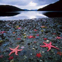 Colonia de estrellas de mar, costa Oeste de Nueva Zelanda.