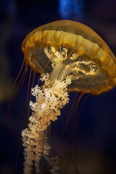 sea life - sea life photography - sea life underwater - sea life artwork - sea life watercolor sea l Medusa, Jellyfish Art, Beautiful Sea Creatures, Underwater Sea, Deep Blue Sea, Colorful Animals, Ocean Creatures, Sea Fish, Fauna