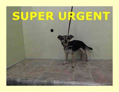 SUPER URGENT 1/16/15 Manhattan Center FIREFLY - A1025524 FEMALE, BLACK / BROWN, CHIHUAHUA SH MIX, 8 yrs STRAY - STRAY WAIT, NO HOLD Reason ABANDON Intake condition UNSPECIFIE Intake Date 01/15/2015 https://www.facebook.com/Urgentdeathrowdogs/photos/pb.152876678058553.-2207520000.1421445575./945310292148517/?type=3&theater