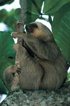 Sloth in Costa Rica, my favorite thing to see there....