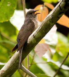 Sulawesi Hawk-cuckoo, Kangkok sulawesi ( Cuculus crassirostris ); endemic ; Cuculiformes-Cuculidae
